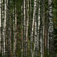 birch forest close up