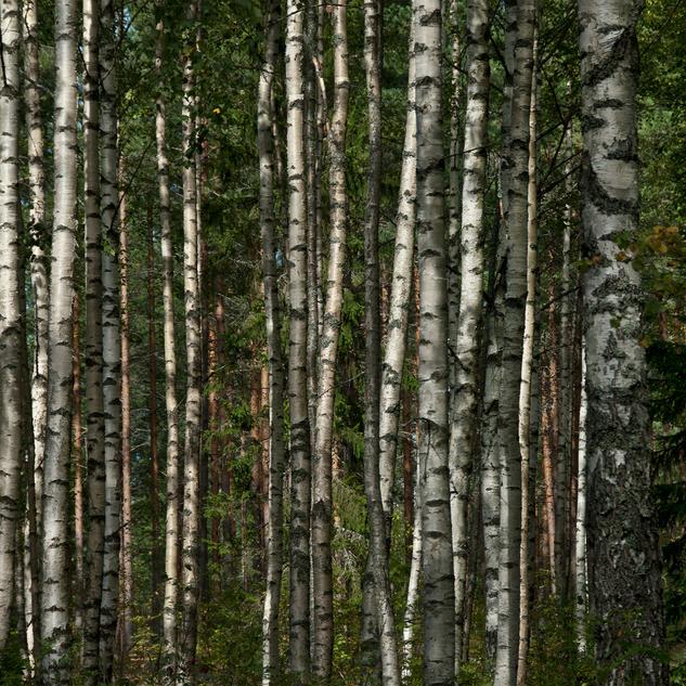 birch forest close up