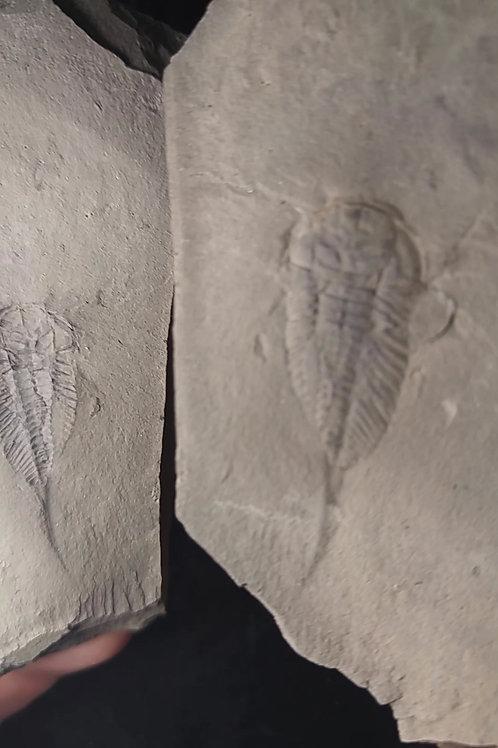 Trilobite, Triarthrus beckii, Capitale-Nationale, QC