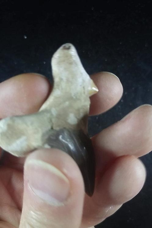 Dent de requin, fossile, Maroc
