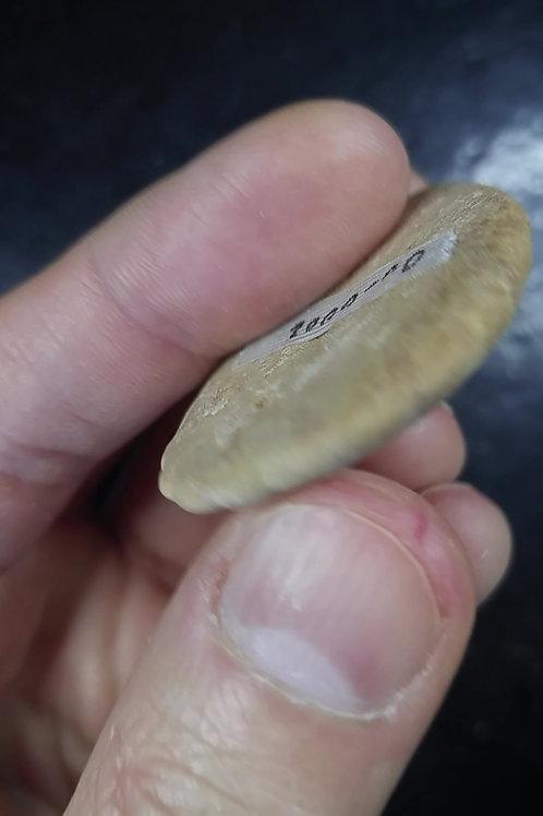 Oursin Fossile (dollar des sables), Madagascar