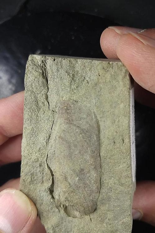 Brachiopode, Etymothyris gaspensis, Gaspésie, QC