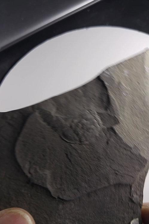 Trilobite (partiel) et Graptolithes, Cap-Santé, Quebec