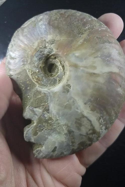 Ammonite nacrée, Madagascar