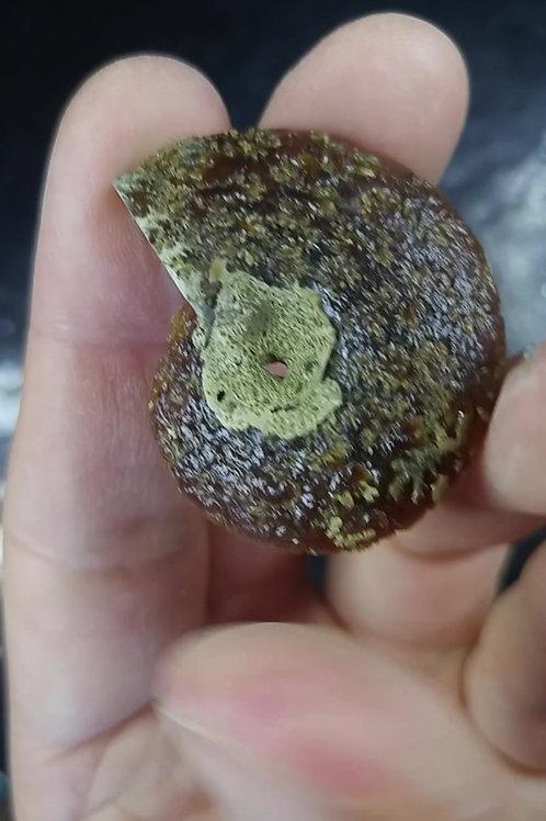 Demi-Ammonite, Tulear, Madagascar