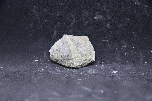 Spirifer (partiel)