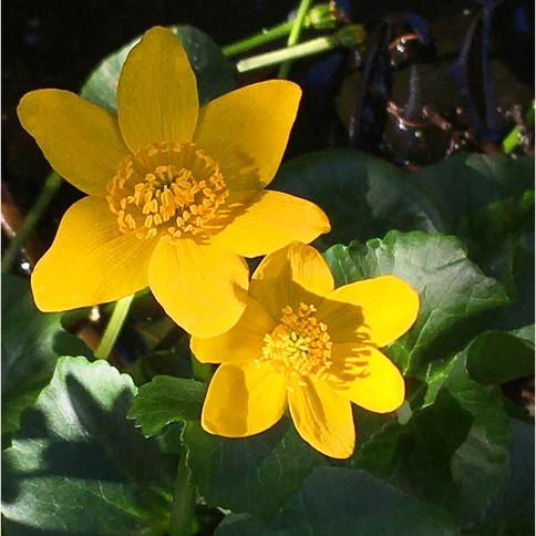 More Marigolds