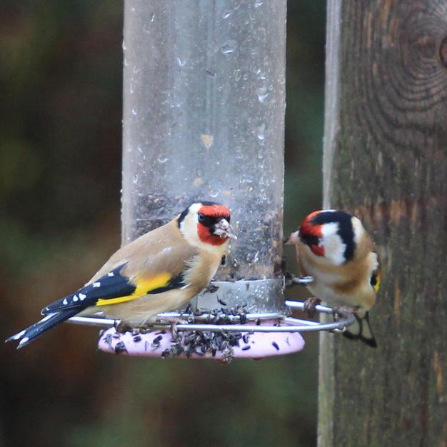 Joe Clark - Goldfinches