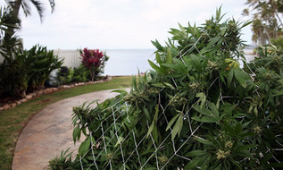 Hawaii Cannabis Dispensaries Can Legally Open, but None are Ready
