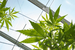 German Lawmakers Green-light Medical Cannabis Use