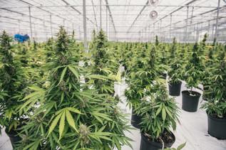 "The marijuana industry's first $1 billion 'unicorn' (""cannicorn""?)"