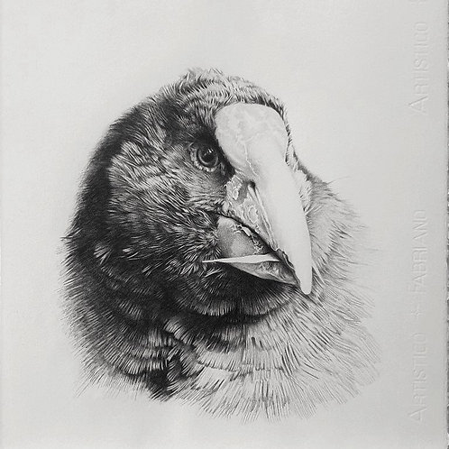 Takahe portrait