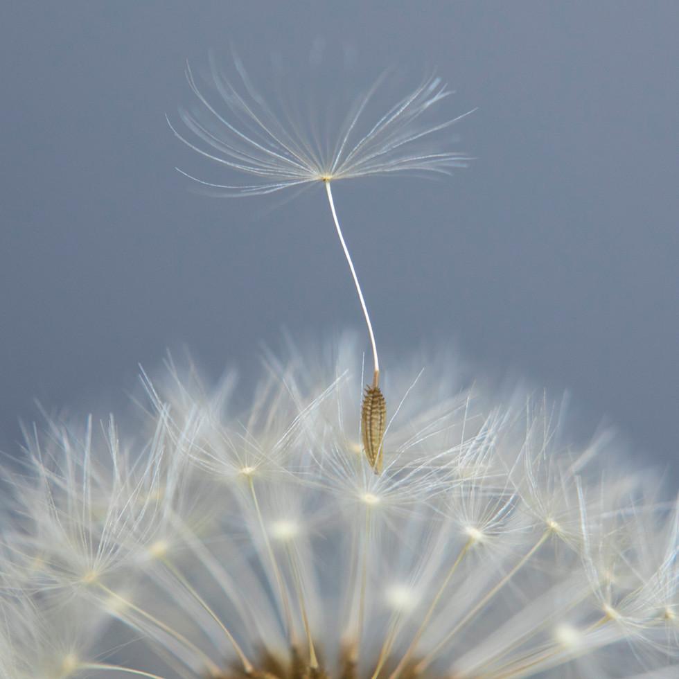 Dandelion #7