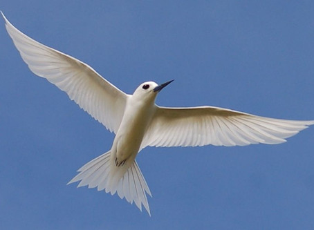Watching White Terns Fly by Michael Little