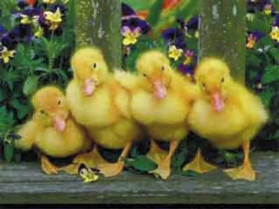 duckies05_edited.jpg