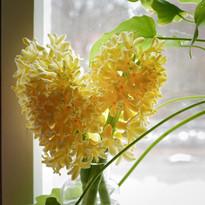 Väldoftande hyacinter i kruka