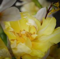 Närodlade tulpaner