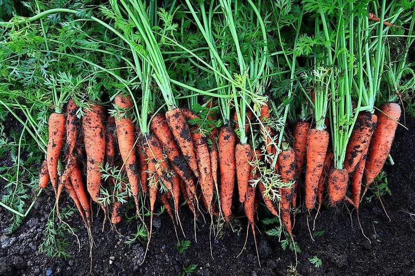 De belles carottes fraichement récoltées
