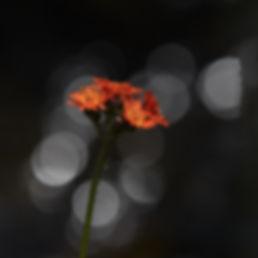 Orange blomma .jpg