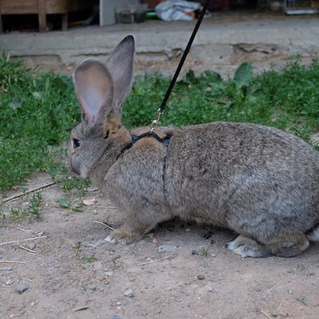 Coniglio Gigante