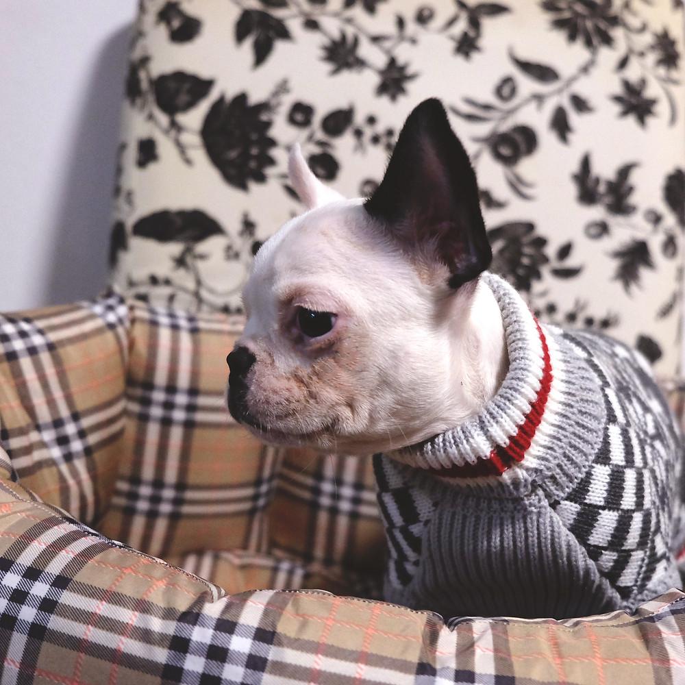 Bulldog francese milano
