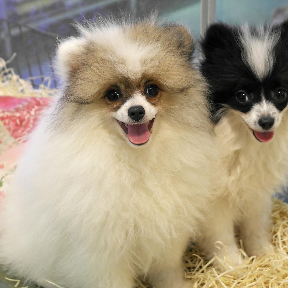 Cuccioli di Spitz Pomerania a Milano