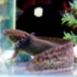 Axolotl Wild Type