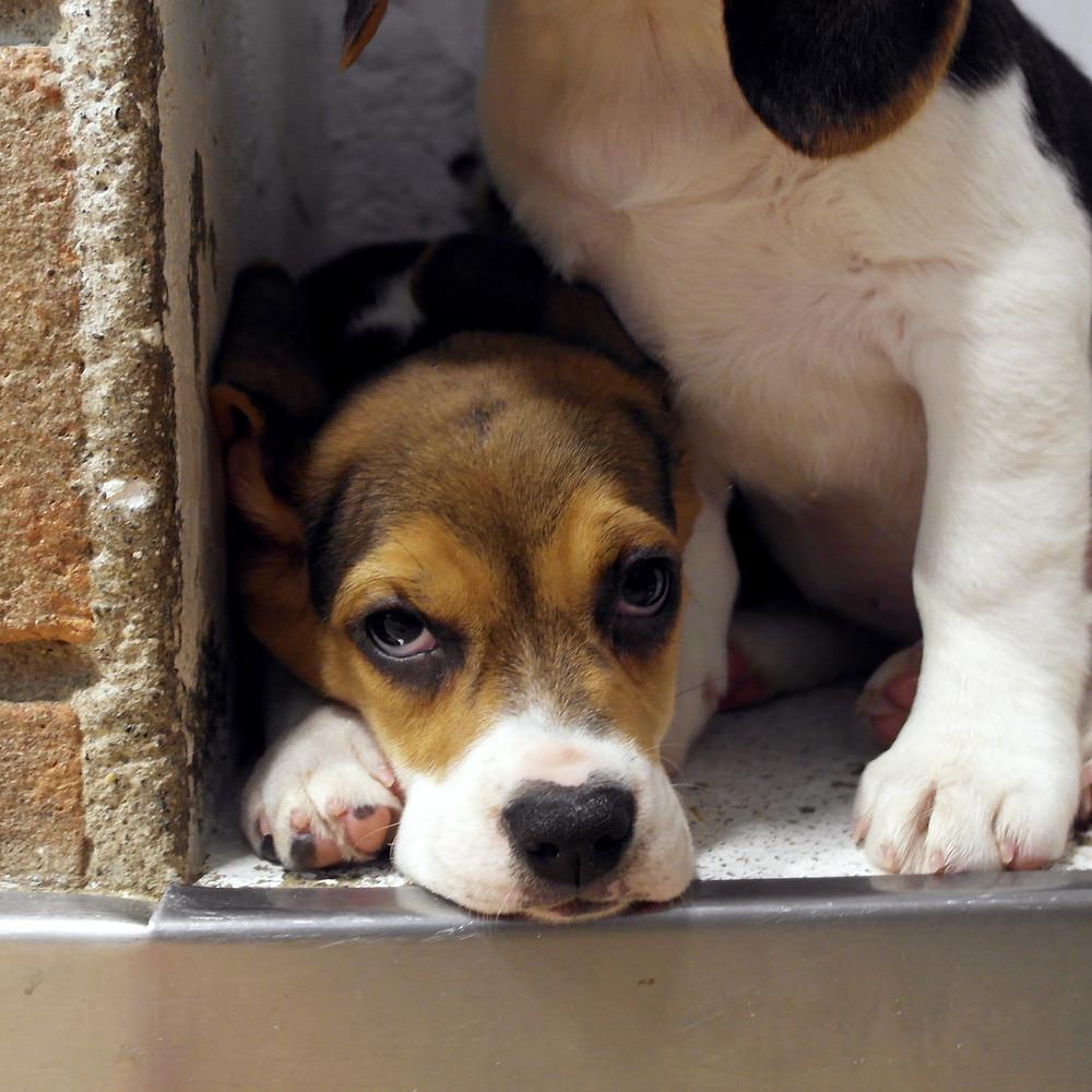 Cuccioli di beagle milano