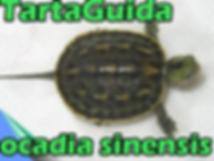 ocadia-sinensis.png