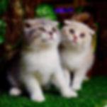 Vendita gatti milano  provincia