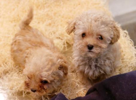 Disponibilita' cuccioli Marzo 2020