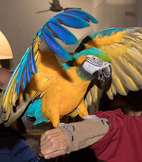 vendita pappagalli ara milano