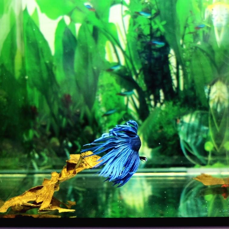 Betta Crown Tail Blu