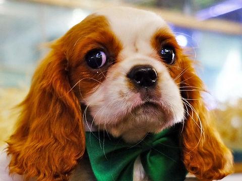 cuccioli di cane in vendita a milano