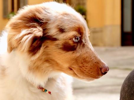 Jimmy il cucciolo di Australian