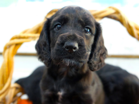 Disponibilità cuccioli di cane Luglio 2020