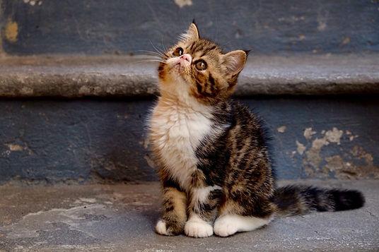 vendita cuccioli di gatto