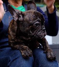 Dolcissimo cucciolo di BulldogFrancese d