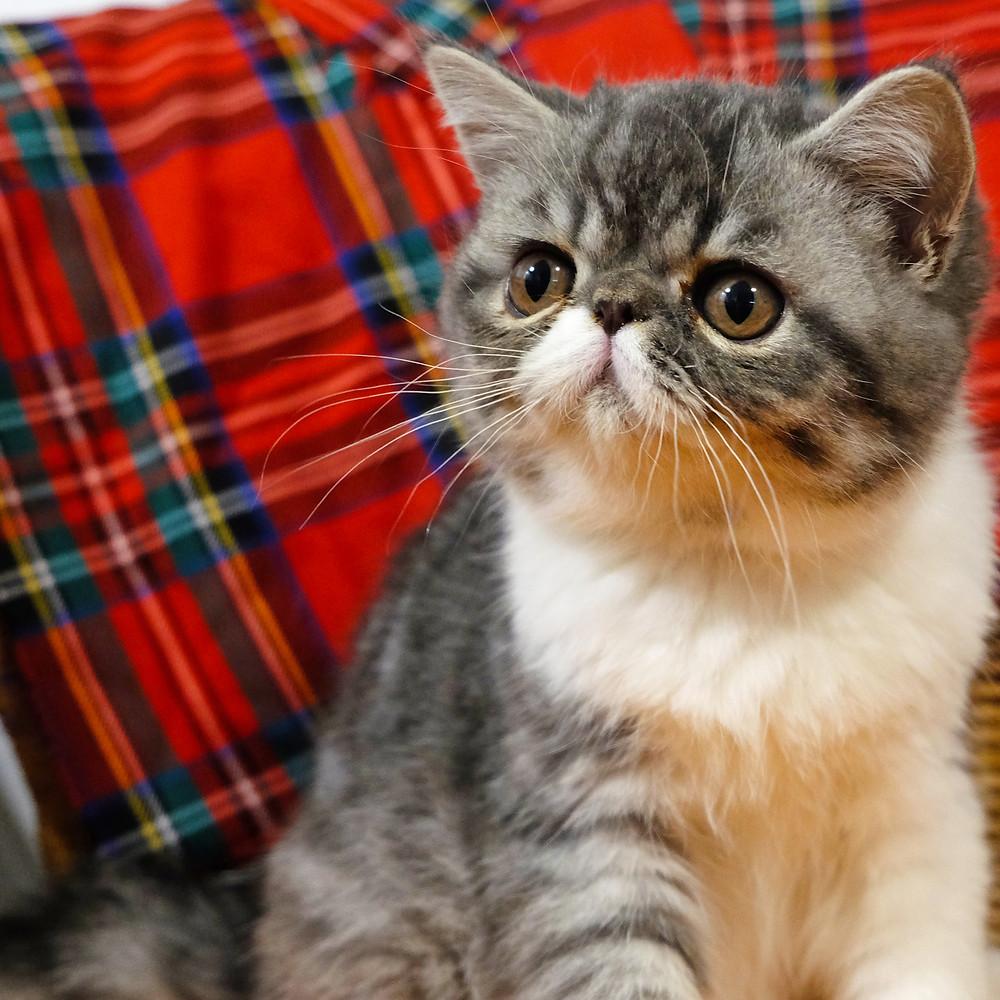 Cucciolo di gatto esotico milano