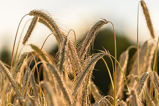 rye-crops-on-a-field-agriculture-K5WL7L4
