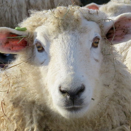 """""""Today, It's About the Sheep""""…well, about this Shepherd, and this very Present Moment!"""