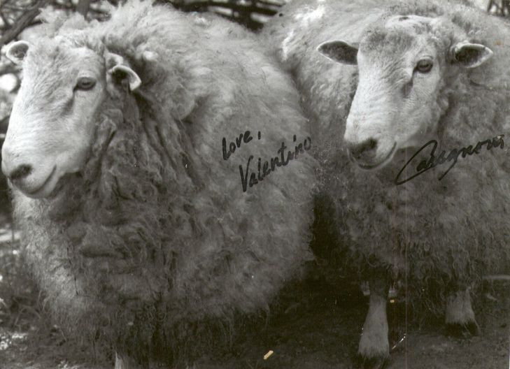 """Why Sheep?  """"Valentino"""" and """"Cassanova""""...names I gave our first two Coopworth rams!"""