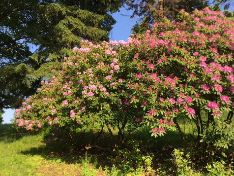 Our huge rhododendron