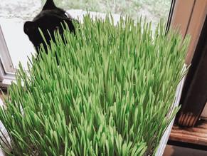 2 Easy Ways to Grow Cat Grass Indoors
