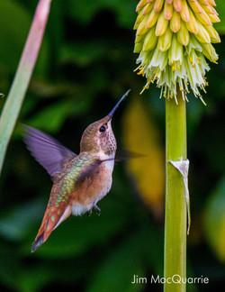 hummer feeds