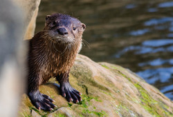 big feets otter single_edited-1