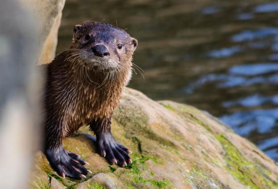 big feets otter single_edited-1.jpg