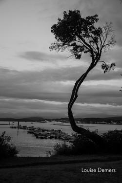 mud bay tree