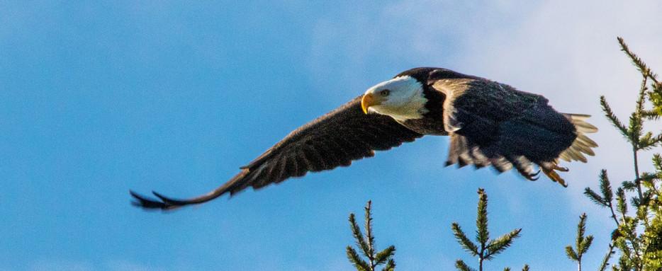eagle leaves tree crop.jpg