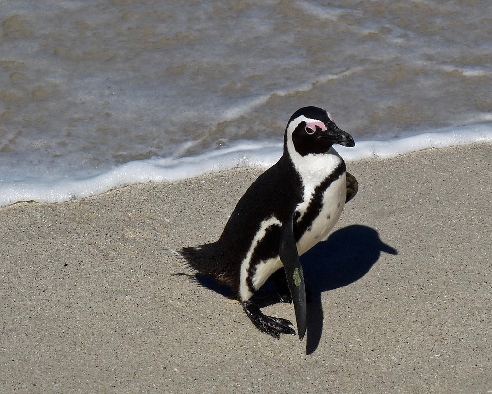 African penguin at Boulders Beach, South Africa